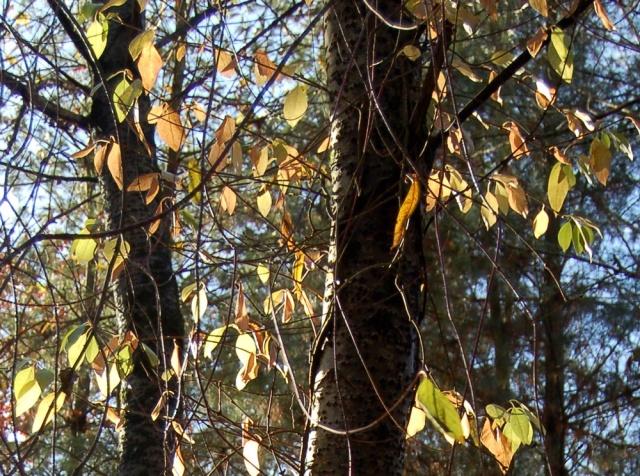 Hydrangeaceae grimpantes Decuma13