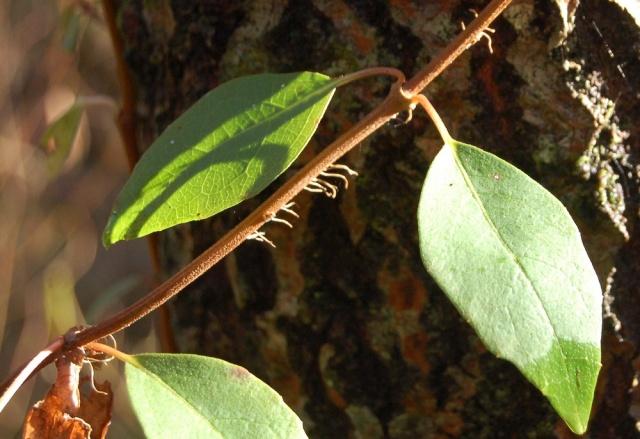 Hydrangeaceae grimpantes Decuma14