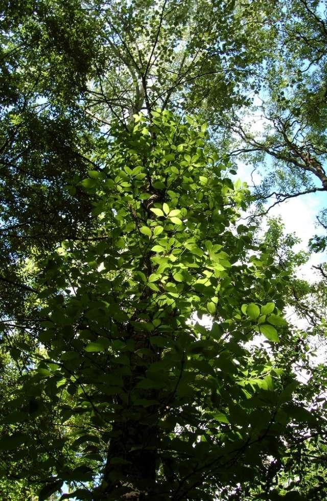 Hydrangeaceae grimpantes Decuma15
