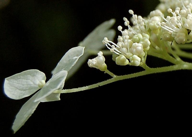 Hydrangeaceae grimpantes Hydran15