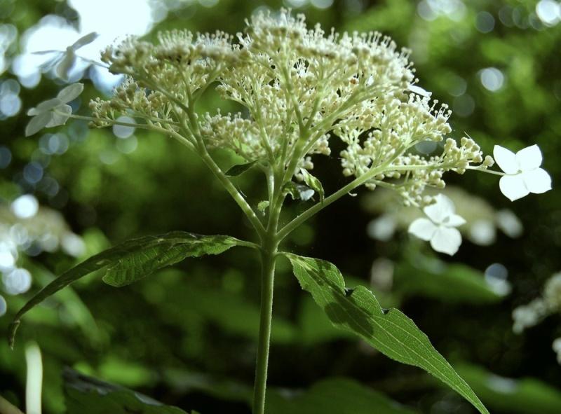 Hydrangeaceae grimpantes Hydran16