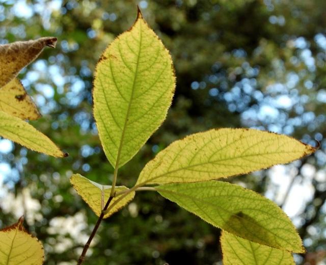 Hydrangeaceae grimpantes Hydran17