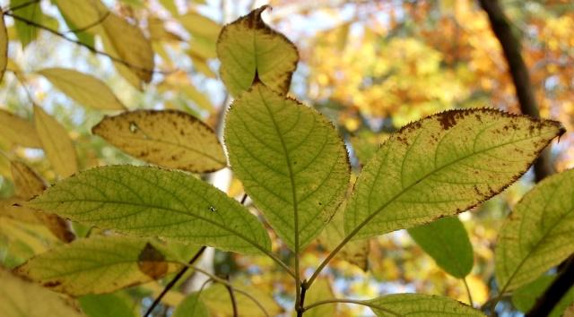 Hydrangeaceae grimpantes Hydran18