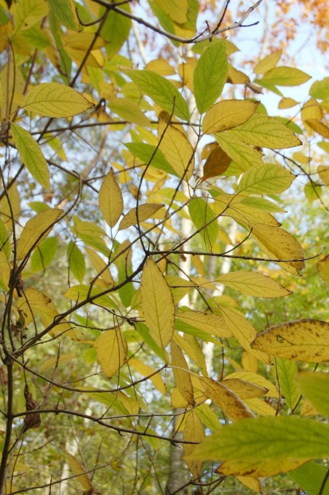Hydrangeaceae grimpantes Hydran19