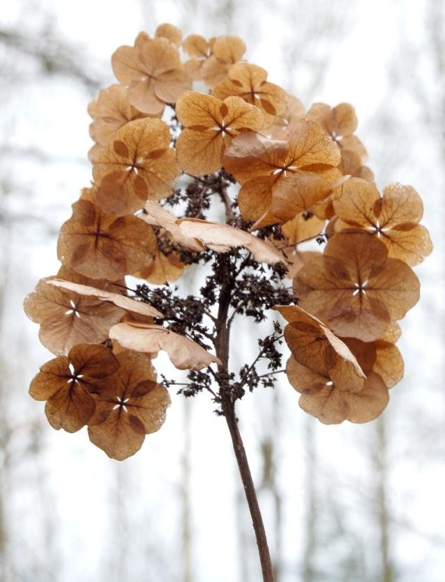 Hydrangeaceae grimpantes Hydran20