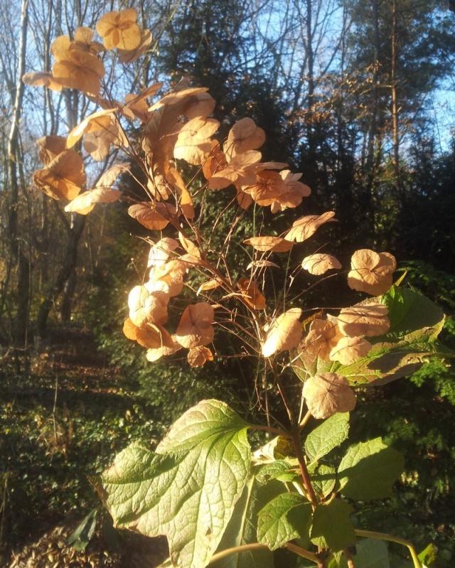 Hydrangeaceae grimpantes Hydran21