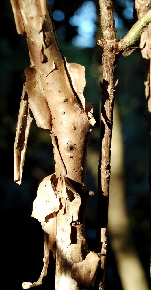 Hydrangeaceae grimpantes Hydran22