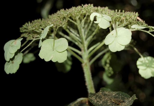 Hydrangeaceae grimpantes Hydran24