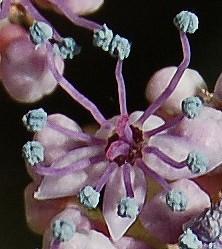 Hydrangeaceae grimpantes Hydran25