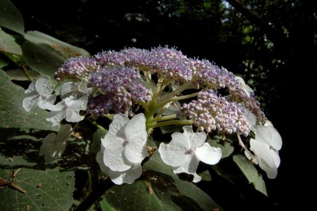 Hydrangeaceae grimpantes Hydran27