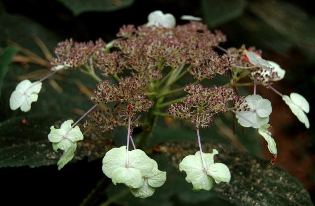 Hydrangeaceae grimpantes Hydran29
