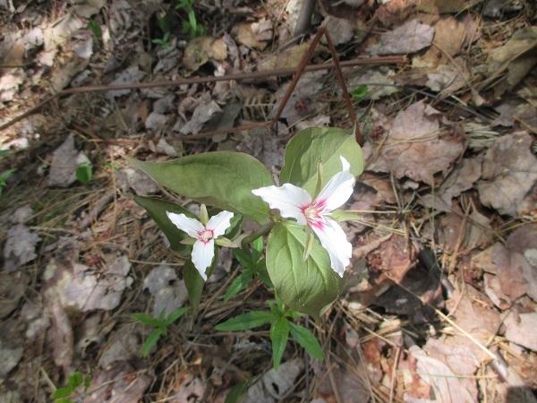 petite flore du Québec - Page 3 Fleur_10