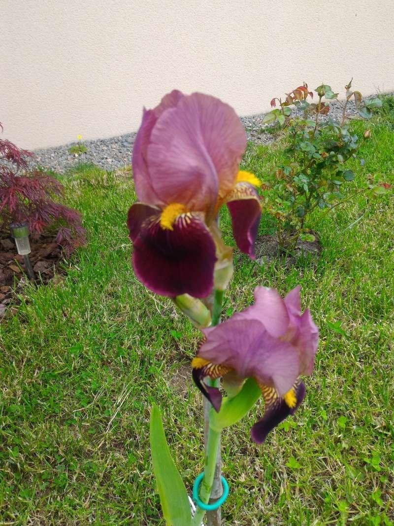 Floraisons 2016 de nos grands iris barbus et Bilan - Page 6 Iris_b11
