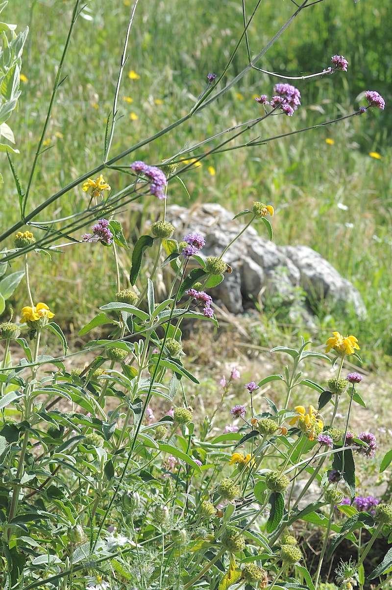 joli mois de mai, le jardin fait à son gré - Page 4 Phlomi10