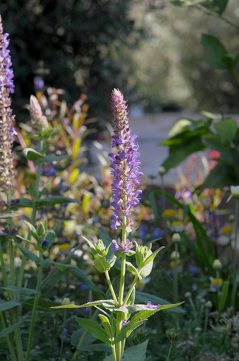 Salvia amplexicaulis Salvia10
