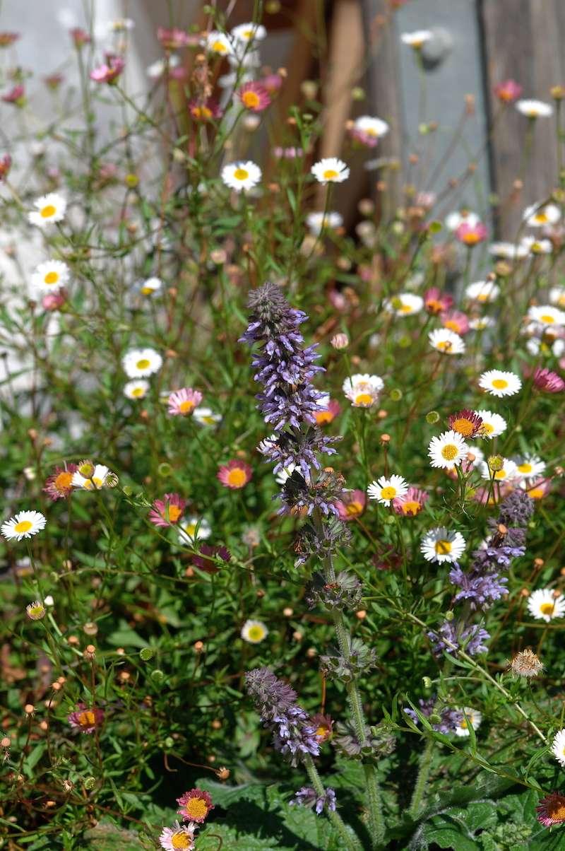 Salvia - les floraisons du moment - Page 16 Salvia12