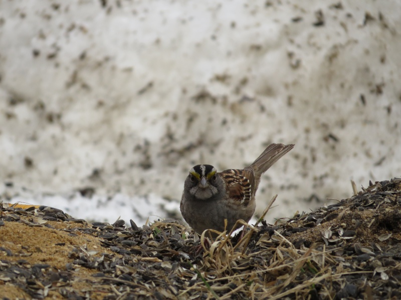 Junco et bruant a gorge blanche Img_4111