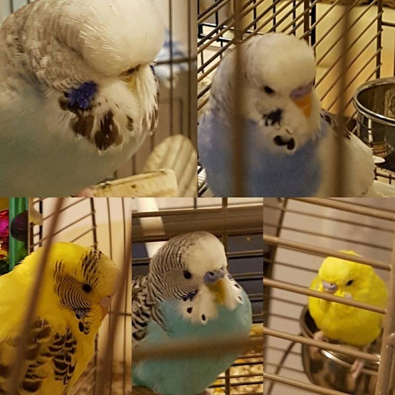 Photos de perruches ondulées - Page 2 10665310