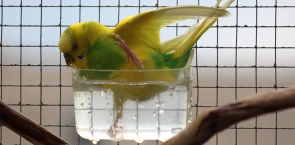 Photos de perruches ondulées - Page 2 12832510