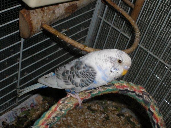 Photos de perruches ondulées - Page 2 31491010