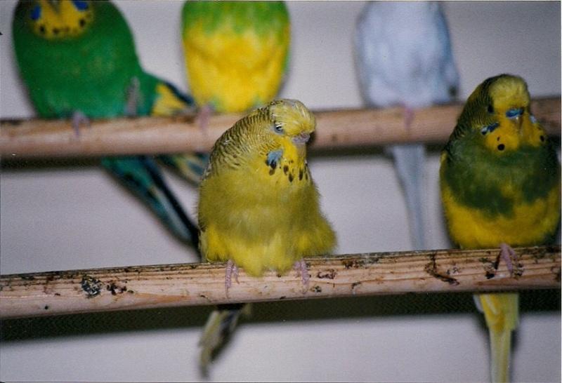 Photos de perruches ondulées - Page 2 Perruc10