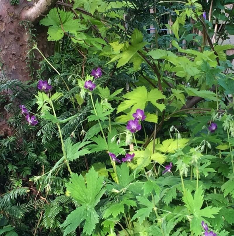 Geranium phaeum Lily Lovell & Humulus lupulus Aureus Img_1013
