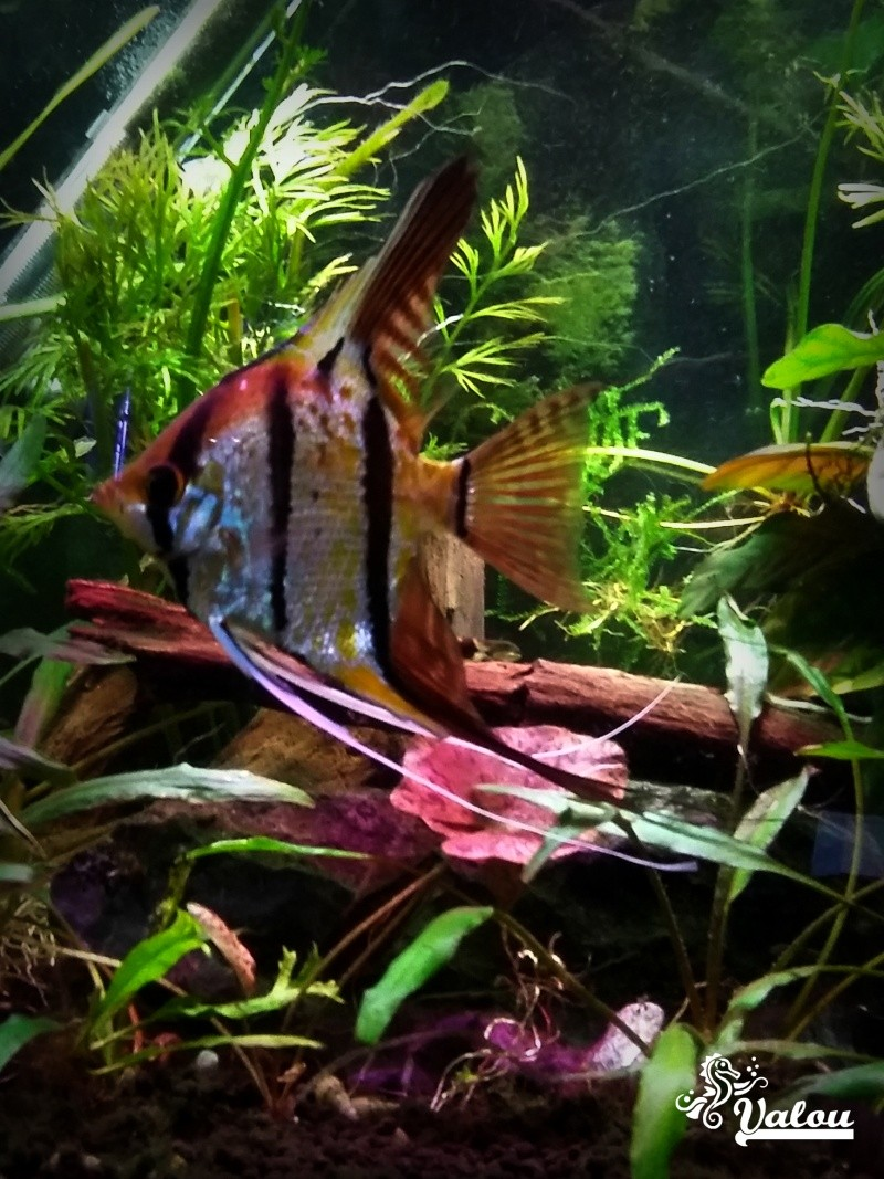 300L d'Amazonie + 30L sakura orange Scalai11