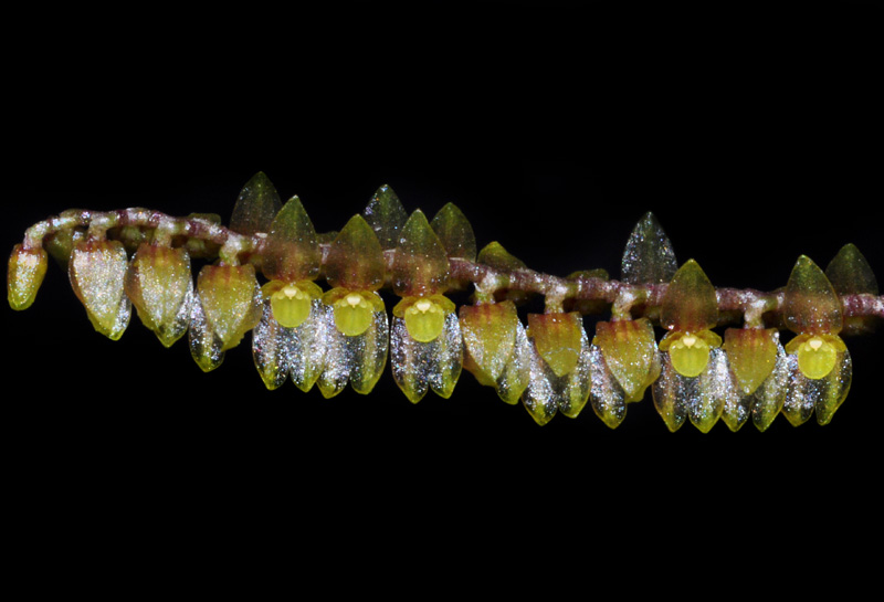 Lepanthopsis flori pecten Lepant10