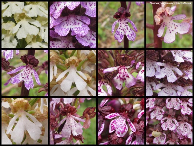 Orchis purpurea ( Orchis pourpre ) 1_pur10