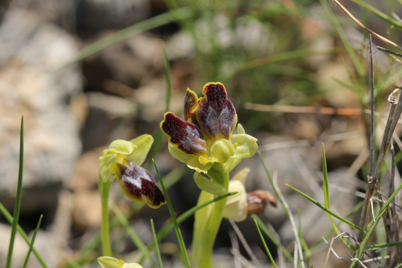 Multilabelles, Ophrys aranifera et bilunulata Img_1612