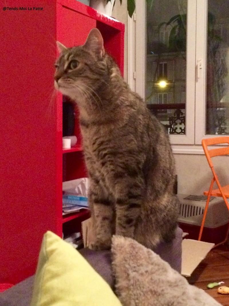 ZINA chatte tigrée de 11 ans Zina310