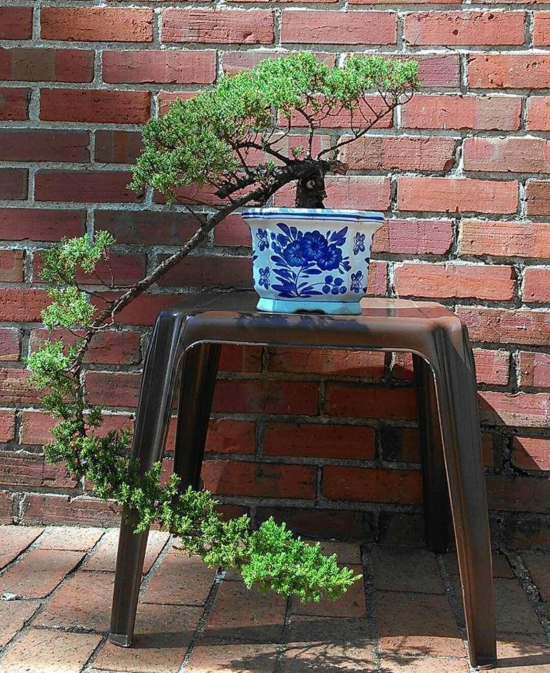How do you promote budding on a juniper? Junipe22