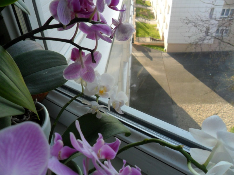 Mes orchidees - Page 3 Sam_5838