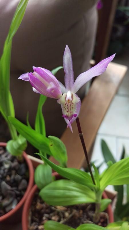 orchidée de jardin Bletil10