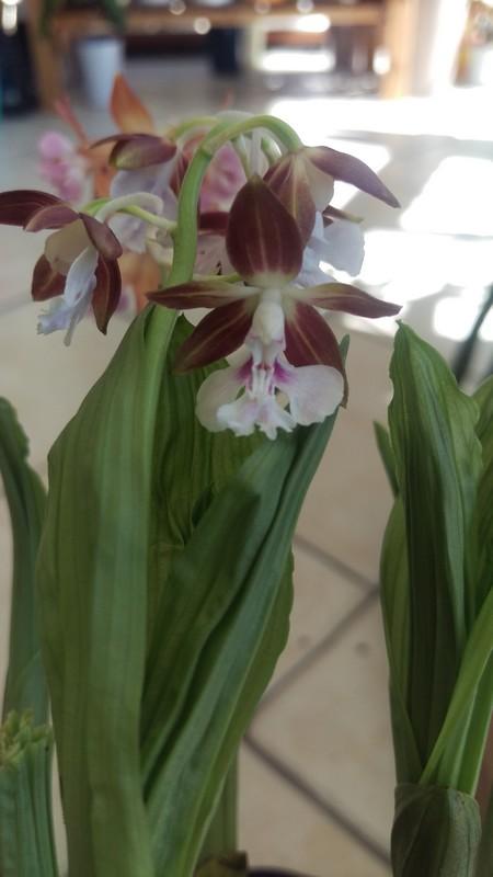 orchidée de jardin Calant10