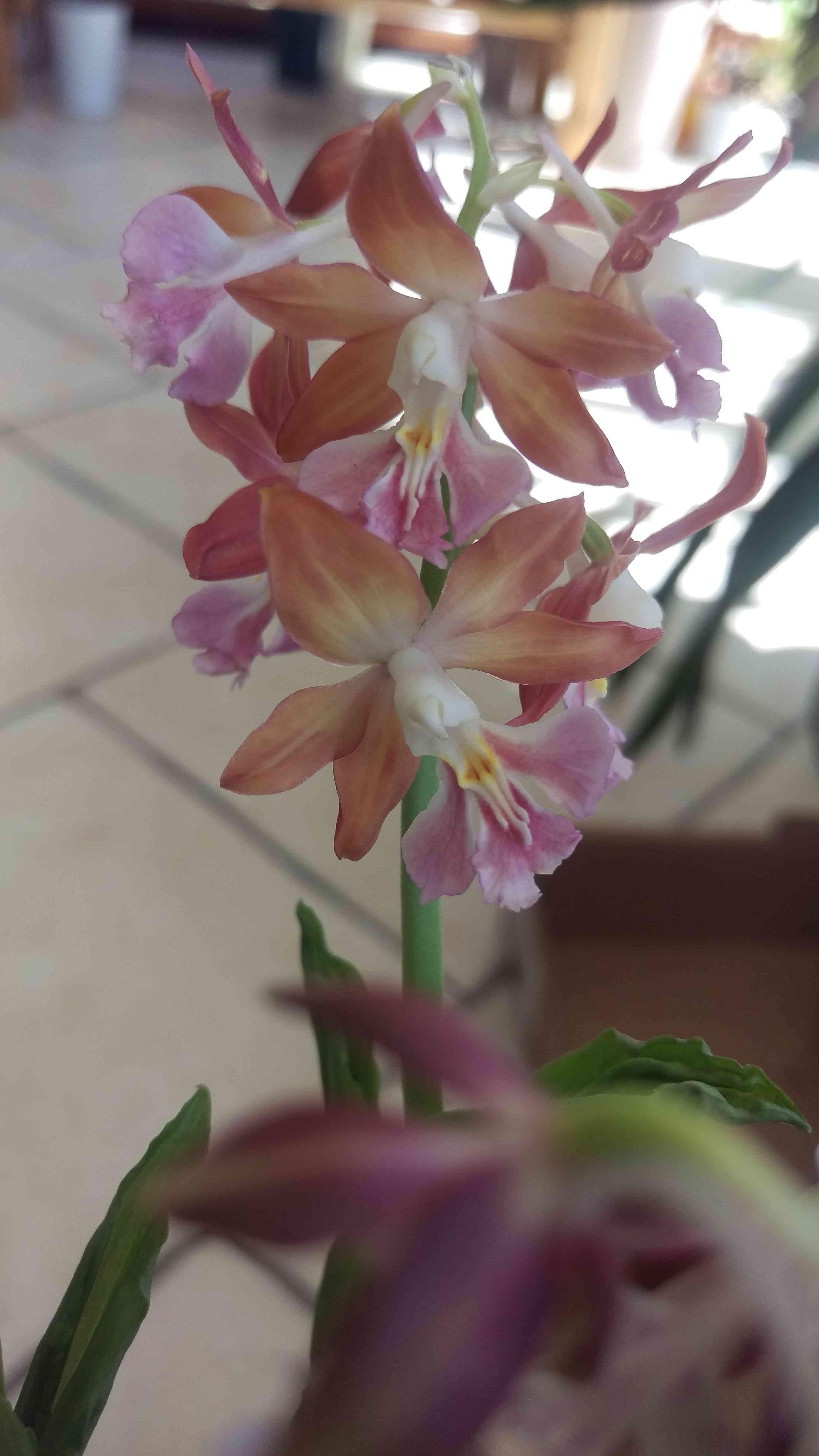 orchidée de jardin Calant11