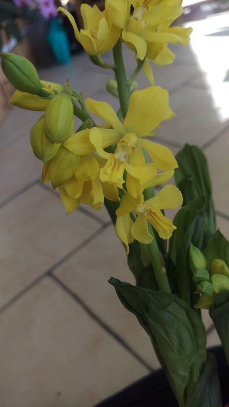 orchidée de jardin Calant13