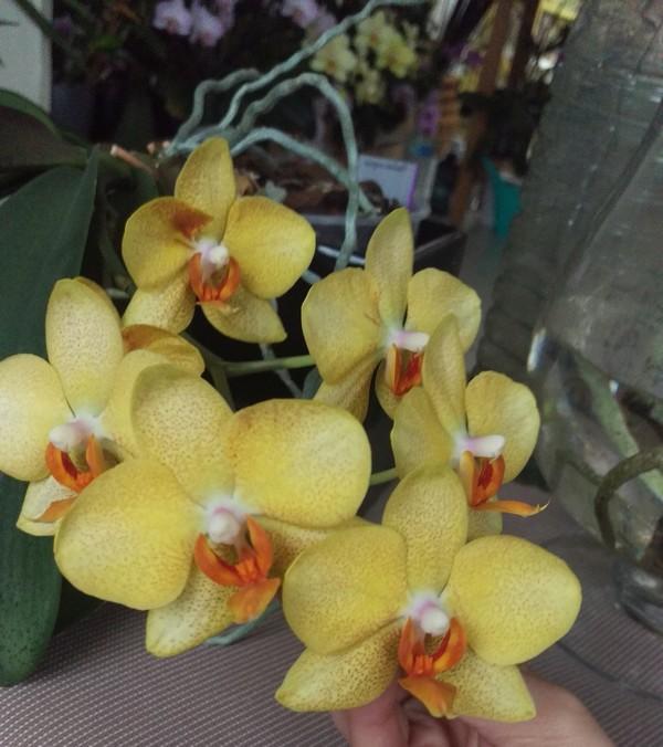 Phalaenopsis hybride Phal_910