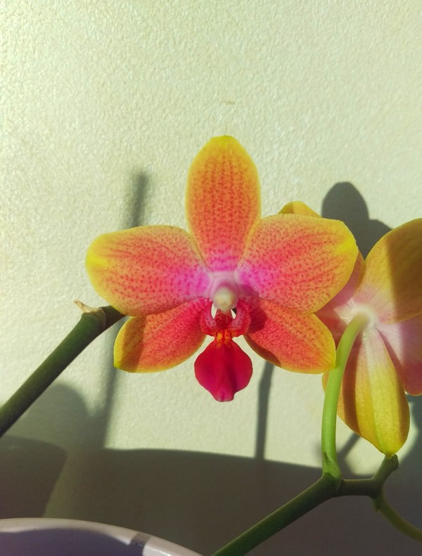 Phalaenopsis Magical Phal_m10
