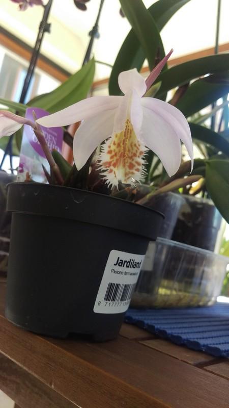 orchidée de jardin Pleion10