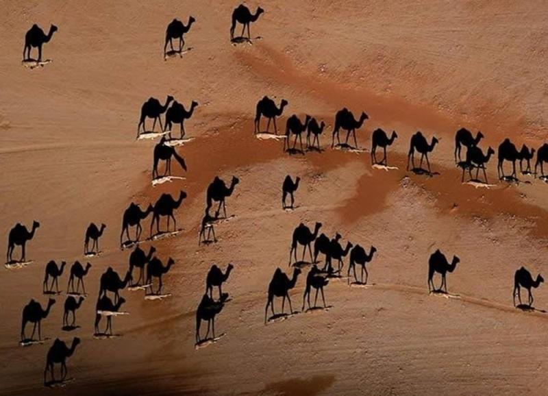 Верблюды на закате Eeea10