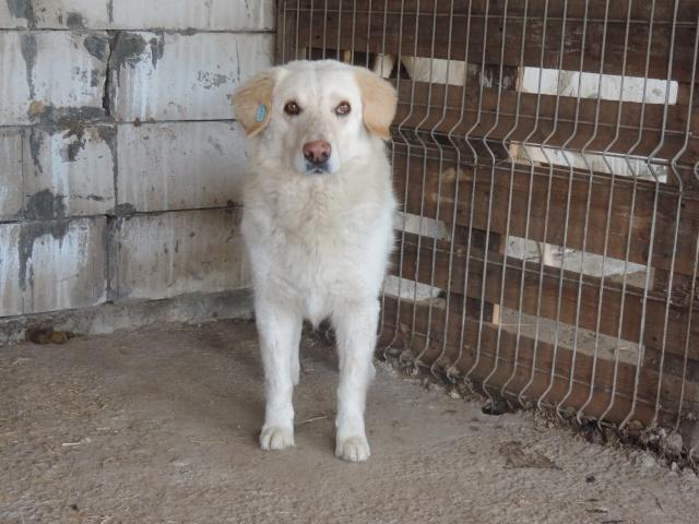 BALANUCH, mâle croisé berger sauvé de Pallady, né en 2009 parrainé par Nathalie G. -Gage Coeur  Myri_Bonnie-SC-R-SOS- Balanu16