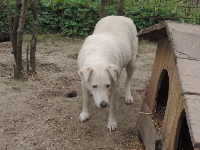 DULCE - Magnifique femelle Blanche - née en 2009 - Parrainée par Samie -SOS-FB-R-SC-  - Page 2 Dulce_13