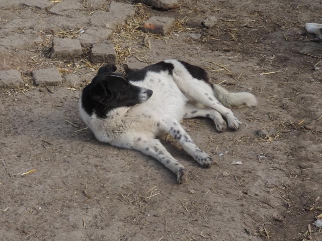 GAYA- femelle noire et blanche née en 2013- parrainée par Skara - SC-SOS-R- - Page 2 Gaya_210