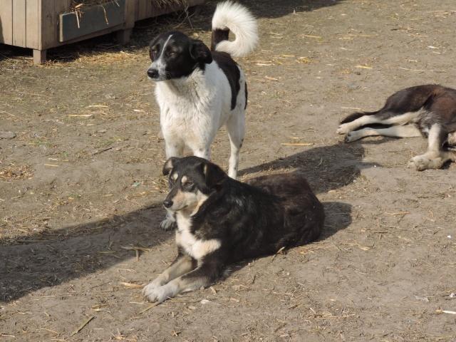 GAYA- femelle noire et blanche née en 2013- parrainée par Skara - SC-SOS-R- - Page 2 Gaya_e10