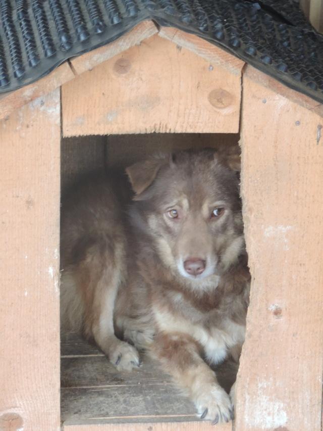 LAORA, femelle rescapée d'Oltenita du 30 avril 2015, née fin 2013, marron roux - marrainée par lilirez2 - SOS-R-SC Laora_12