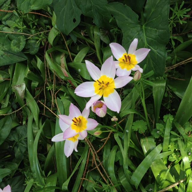 Les tulipes Img_5111