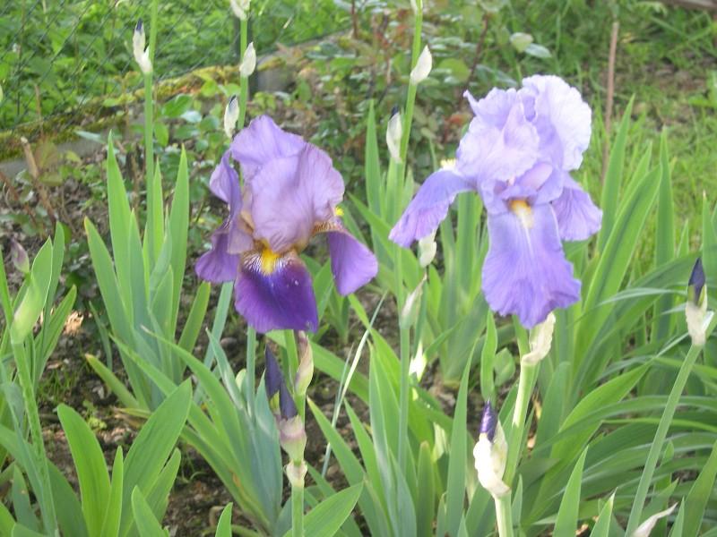 Cinq iris à identifier 02211