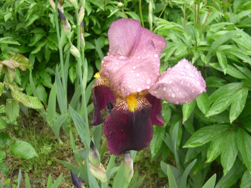 Cinq iris à identifier 02610