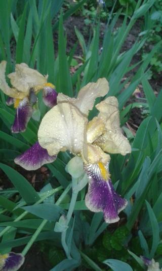 Les iris -culture, multiplication, entretien, variétés. - Page 4 Cultur10